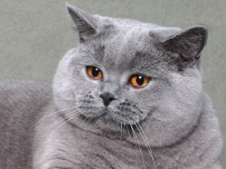 Odmiany Barwne Koty Brytyjskie Występują W Ponad 300 Odmianach